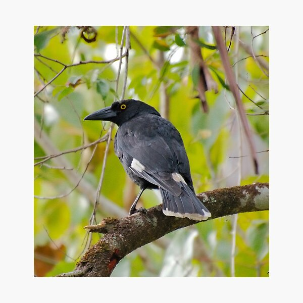 WO ~ SC ~ ARTAMIDAE ~ Pied Currawong jMjkRF74 by David Irwin 011119 Photographic Print