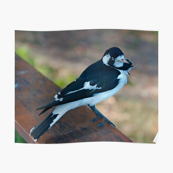 WO ~ SC ~ FANTAIL ~ Magpie-Lark by David Irwin 041119 Poster