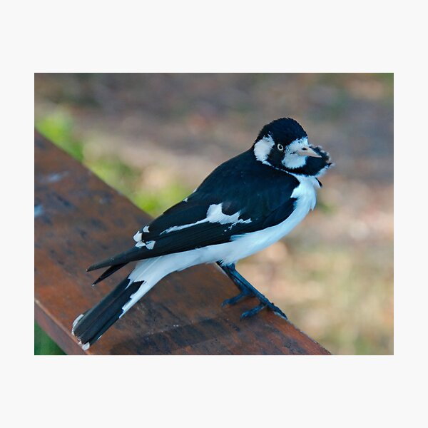 WO ~ SC ~ FANTAIL ~ MAGPIE ~ Magpie-Lark PMGPK377 by David Irwin 041119 Photographic Print