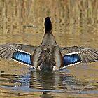 Mallard Duck Wings Spread by hummingbirds
