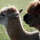 Alpaca profile  by Barry Goble