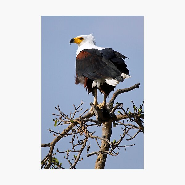 African Fish Eagle Photographic Print