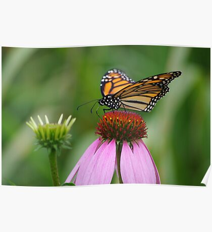 softly landing on an echinacia flower Poster