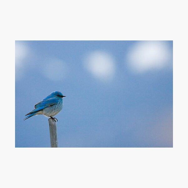Bluebird Of Happiness... Photographic Print
