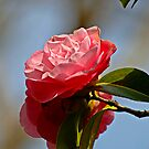Camelia 1 by John Caddell