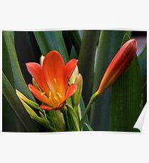 Yellow orange Ixias flowers at entrance to Liscombe house Leith Park Australia 20150824 0179 Poster