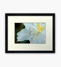 Rhododendrum Magregoriae Framed Print