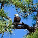 American Bald Eagle by Frank Bibbins