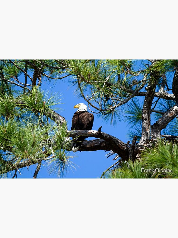 American Bald Eagle by organicman2