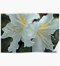 Rhododendrum Magregoriae 2 Poster
