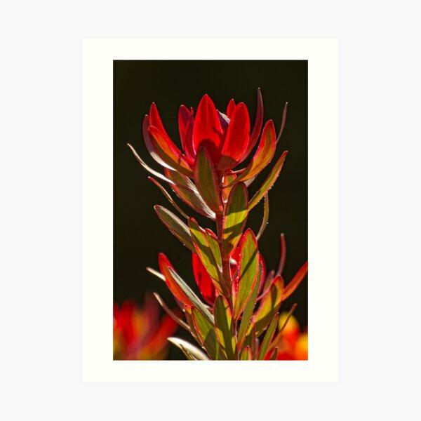 Protea 1 Art Print