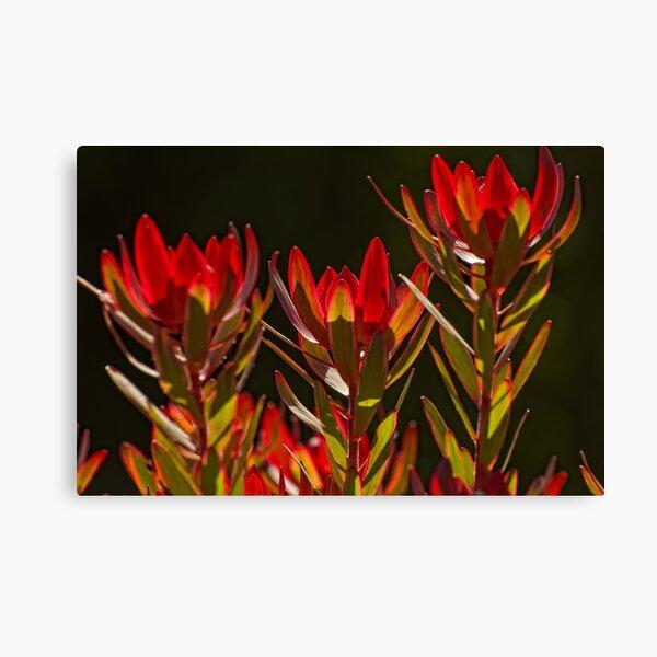 Protea 2 Canvas Print