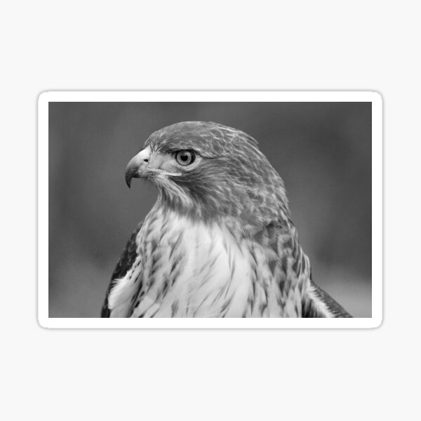 Red Tail Hawk Profile Black and White Sticker