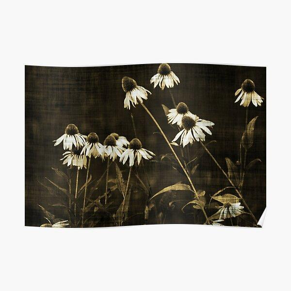Echinacea - Sepia Poster