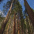Sequoia Trees 1 by John Caddell