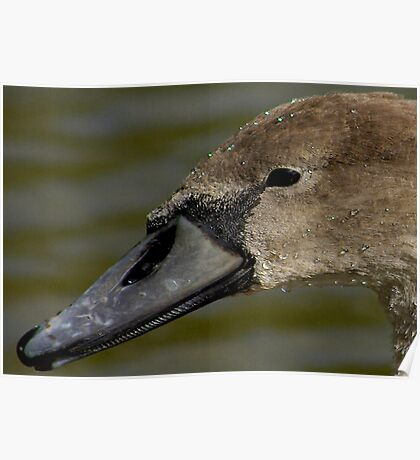 Portrait of A Cygnet Poster