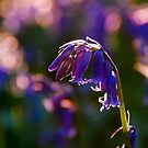 Bluebell Heart by Mark Greenwood