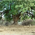 NYALA TREE - Xanthocercis zambesiaca (Njalaboom) by Magriet Meintjes
