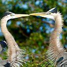 Great Blue Heron's Courtship Display by Frank Bibbins