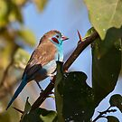 Red-cheeked Cordon-bleu by Shaun Whiteman
