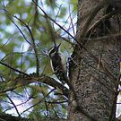 woodpacker in a tree by VINCENT CUSUMANO