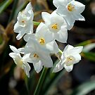 Snowdrops by Colleen Drew