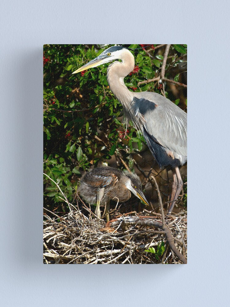 Alternate view of Great Blue Heron Chick Canvas Print