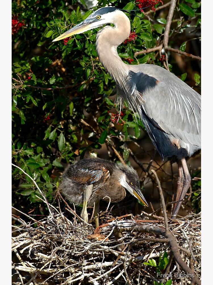 Great Blue Heron Chick by organicman2