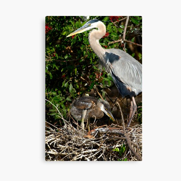 Great Blue Heron Chick Canvas Print