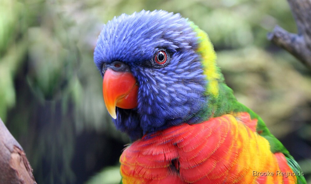 { rainbow lorikeet } by Brooke Reynolds