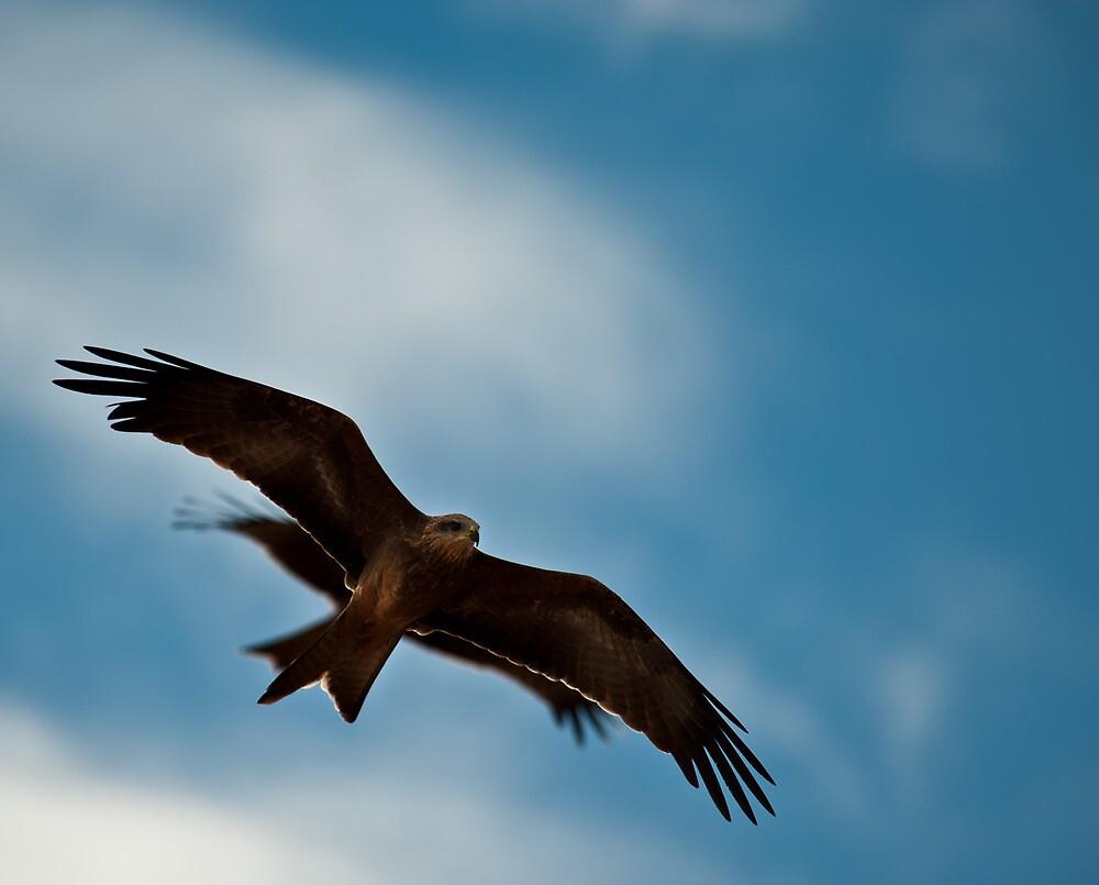 Black Kite by Craig Hender