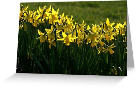 Daffodils. by Jean-Luc Rollier