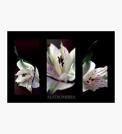 Alstromeria Trio Photographic Print