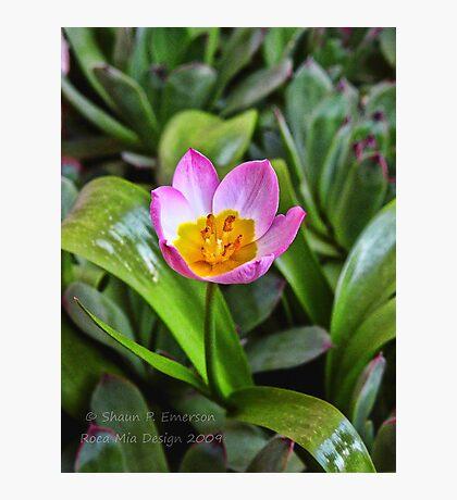 Tiny Tulip Photographic Print