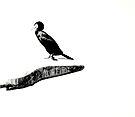 Karabatak (Cormorant) by Kutay Photography