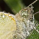 Cabbage White Butterfly (Pieris rapae) by Andrew Widdowson