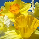 Spring Bright Yellow Daffodil Flowers Photograhy Baslee Troutman by BasleeArtPrints