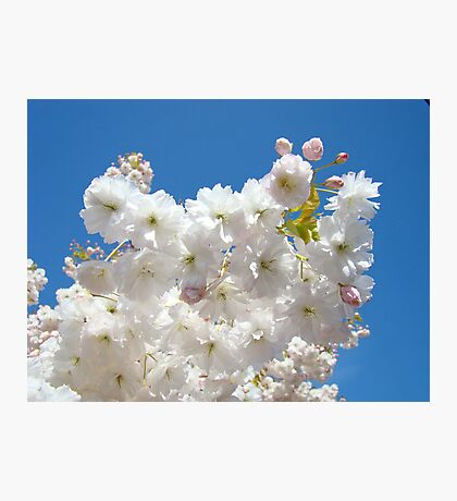 Spring Blue Sky Pastel Pink White Tree Blossoms Baslee Troutman Photographic Print