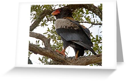Bateleur Eagle by Michael  Moss