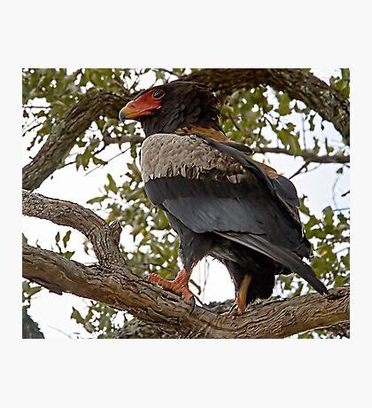 Bateleur Eagle Photographic Print
