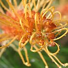 Grevillea (Honey Gem) by triciaoshea