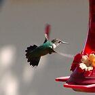 Female Rufous Hummingbird by Scott Hendricks