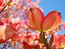 Sunlit Pink Dogwood Tree Flowers Spring Baslee Troutman by BasleeArtPrints
