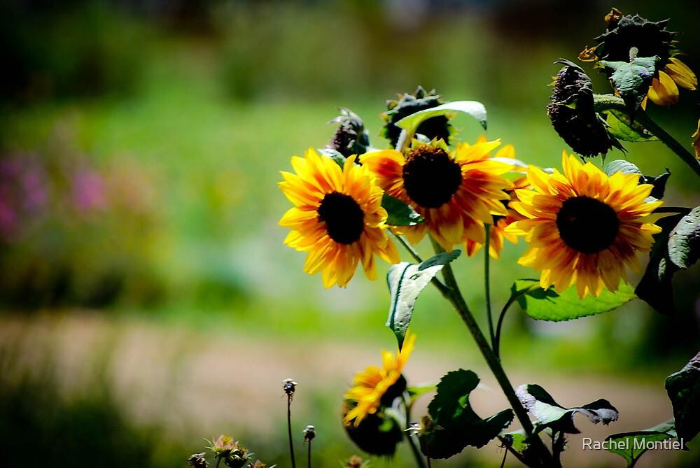 Sun Flower Soak up the Sun by Rachel Montiel