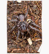 Funnel-Web Spider (Female) Poster