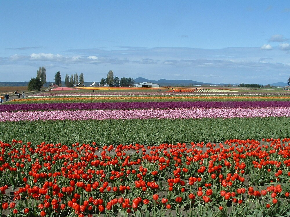Skagit Valley tulips by Charles Hallsted