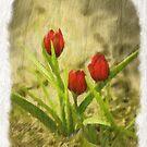 Specie Tulip by Kenneth Hoffman
