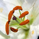 Lily Stamens by Dean Messenger