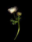 Double White Anemone by Barbara Wyeth