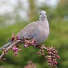 Collared Dove by AnnDixon